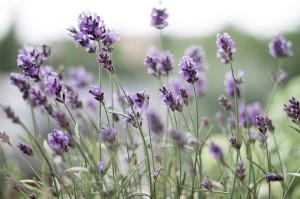 lavender scent diy
